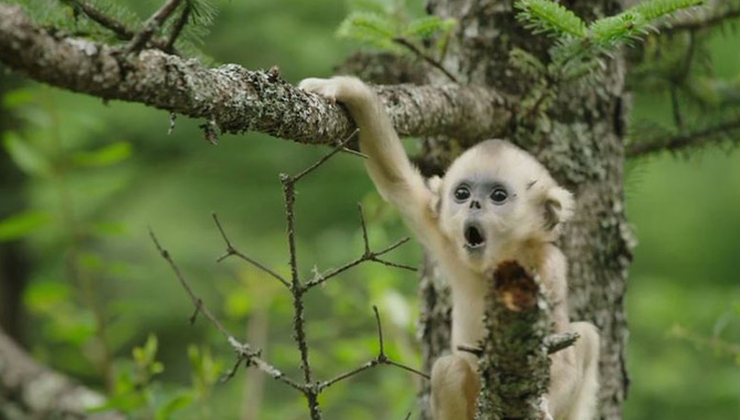 An adorable baby monkey in 'Born In China'