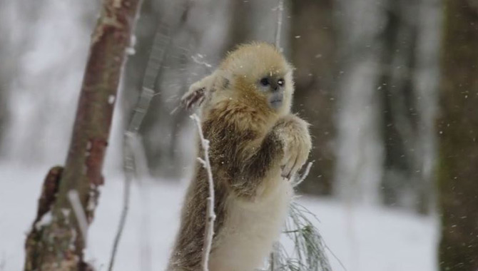 A primate moves in the snow in 'Born In China'