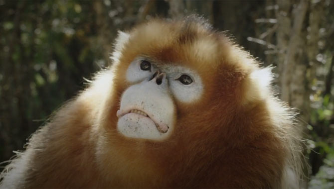 An adult snub nose golden monkey