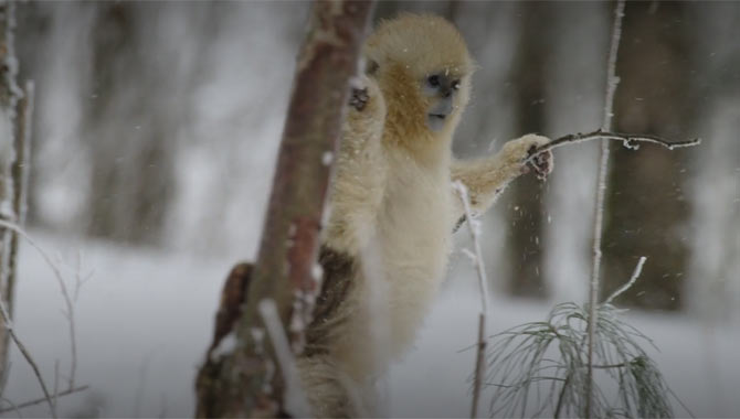 A little monkey sees the snow for the first time