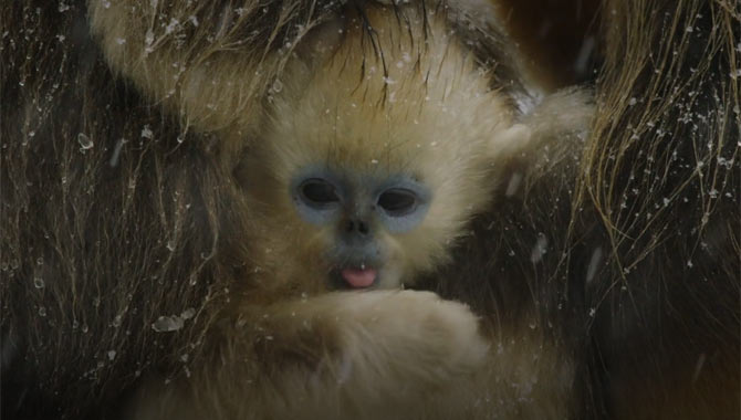 Baby Monkey sticking out his tongue