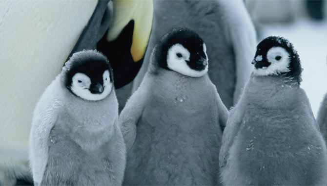 March of The Penguins Trailer