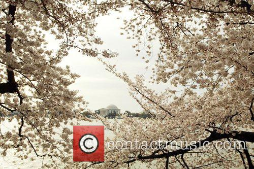 The Cherry Blossom Festival has officially arrived. The...