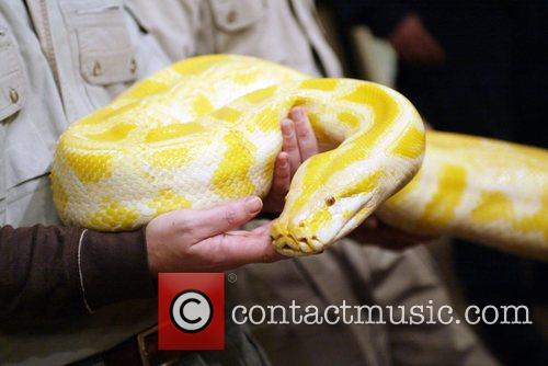 An Albino Anaconda  'Reptile man' Michael Shwedick...