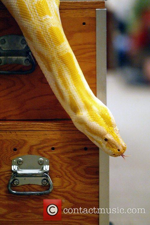 An Albino Anaconda is removed from its container...