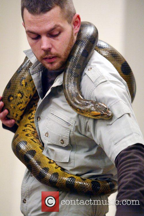 An assistant displays a non-venomous species of snake....