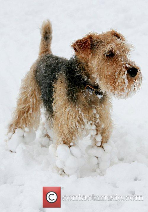Lakeland terrier having fun in the spring snow...