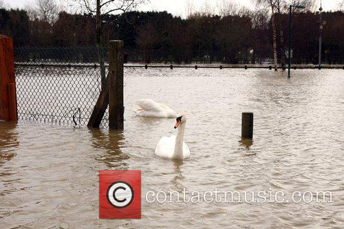 Two swans swimming through a car park in...