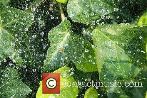 Cobwebs growing on ivy outside the White House...