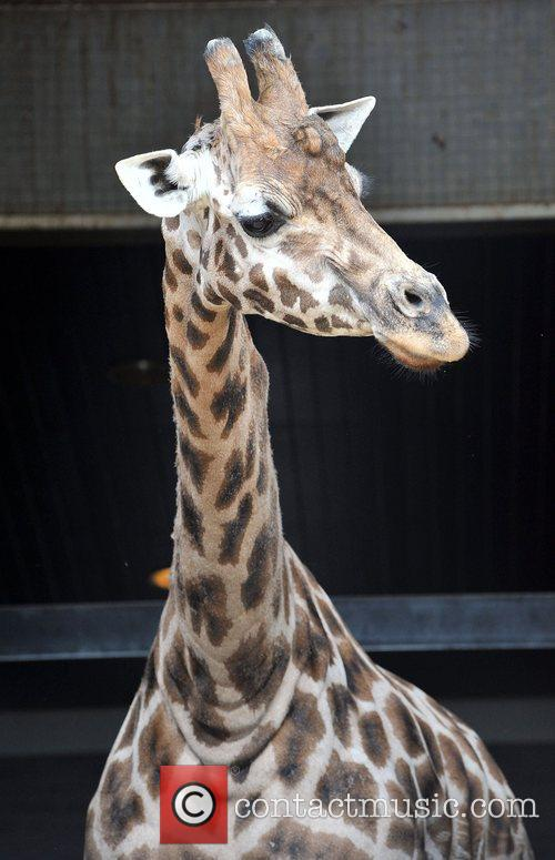 Crackers, London Zoo's oldest giraffe, Crackers celebrates her...