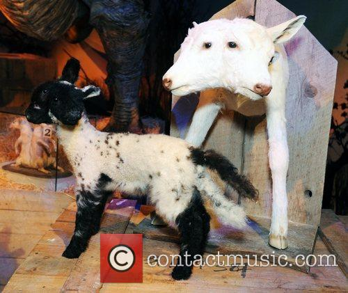 2 headed calf and lamb on display at...