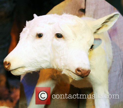 2 headed lamb on display at the 'Ripley's...