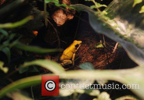 Golden Poison Dart Frog 4