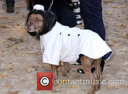 Dog dressed as Jackie O aka Jacqueline Kennedy...