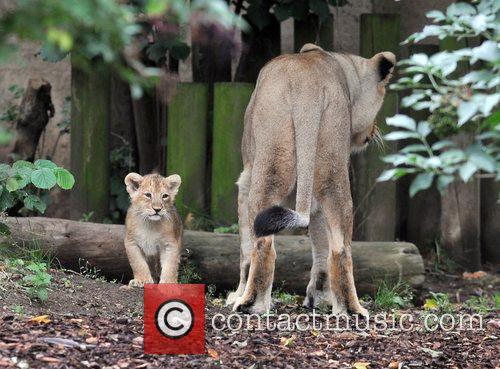 Two 10 Weeks Old Asian Lion Cubs That Were Born At London Zoo Come Out To The Enclosure With Their Mother Abi For The First Time. 8