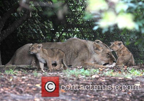 Two 10 Weeks Old Asian Lion Cubs That Were Born At London Zoo Come Out To The Enclosure With Their Mother Abi For The First Time. 3