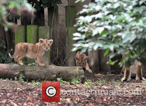 Two 10 Weeks Old Asian Lion Cubs That Were Born At London Zoo Come Out To The Enclosure With Their Mother Abi For The First Time. 5