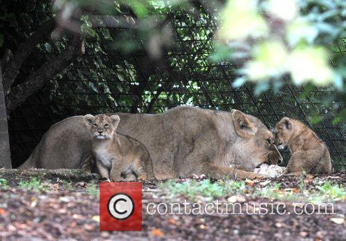 Two 10 Weeks Old Asian Lion Cubs That Were Born At London Zoo Come Out To The Enclosure With Their Mother Abi For The First Time. 9