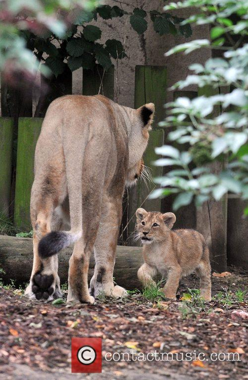Two 10 Weeks Old Asian Lion Cubs That Were Born At London Zoo Come Out To The Enclosure With Their Mother Abi For The First Time. 7
