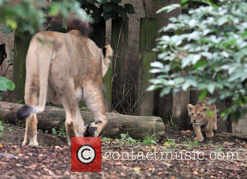 Two 10 Weeks Old Asian Lion Cubs That Were Born At London Zoo Come Out To The Enclosure With Their Mother Abi For The First Time. 10