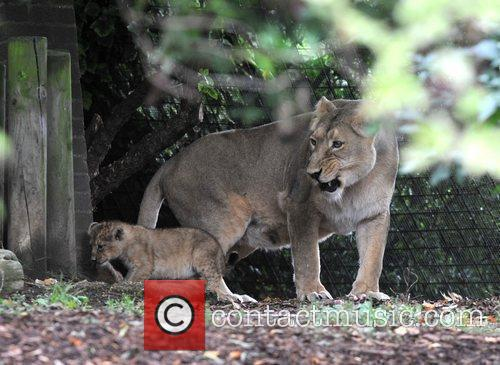 Two 10 Weeks Old Asian Lion Cubs That Were Born At London Zoo Come Out To The Enclosure With Their Mother Abi For The First Time. 11