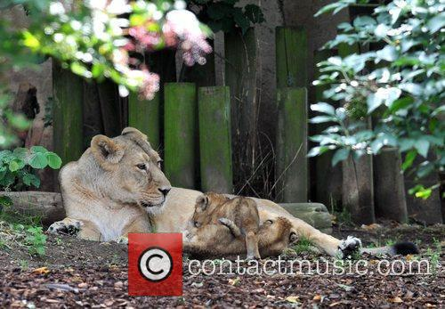 Two 10 Weeks Old Asian Lion Cubs That Were Born At London Zoo Come Out To The Enclosure With Their Mother Abi For The First Time. 1