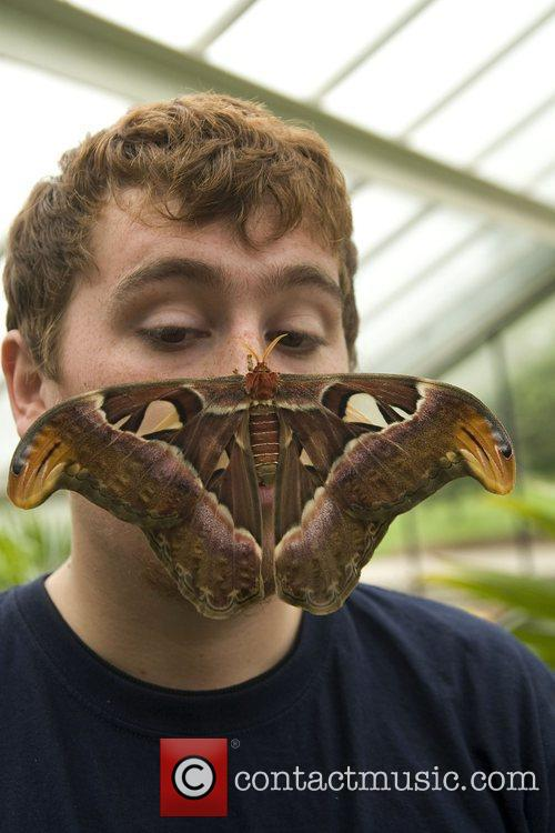 Butterfly keeper gets familiar with a giant Attacus...