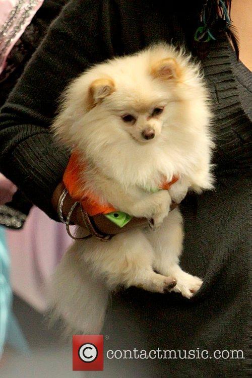 Paris Hilton's dog dressed in a Halloween costume...