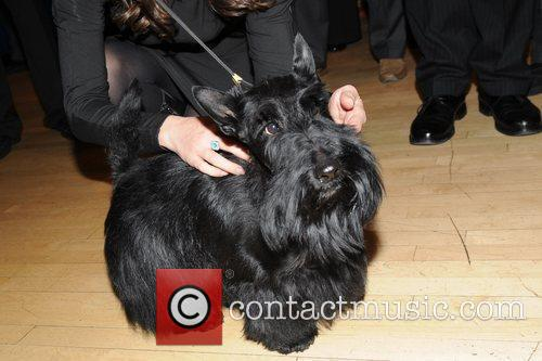The Westminster Kennel Club's winner, a Scottish Terrier...