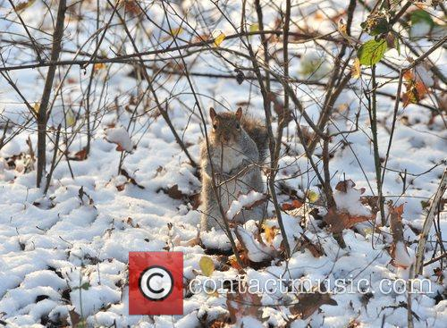 A squirrel forages in the snow on Hampstead...