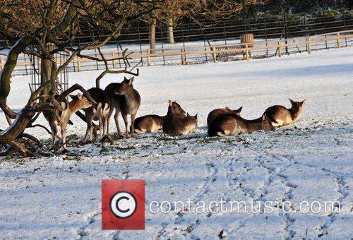 Deer relax in the snow in Golders Green...