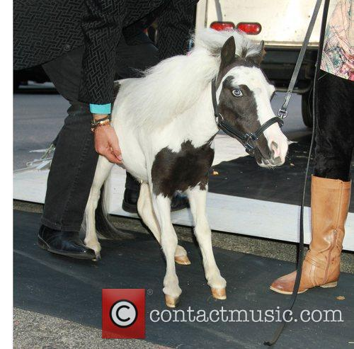 Einstein the smallest horse at Good Morning America....