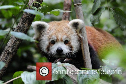 Red pandas are endangered due to habitat loss...