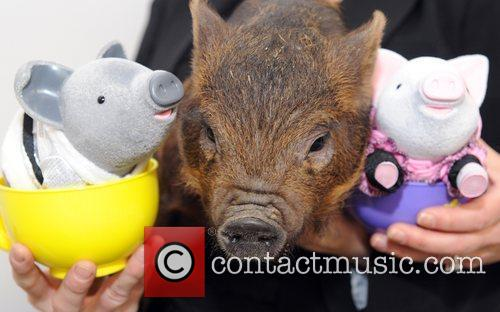 Micro pig and toy  The Toy Fair...