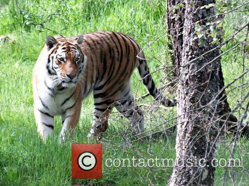 Marty A male Amur tiger at Highland Wildlife...