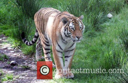 A male Amur tiger at Highland Wildlife Park,...