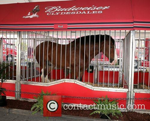 Budweiser Clydesdales make a stop at Hard Rock...