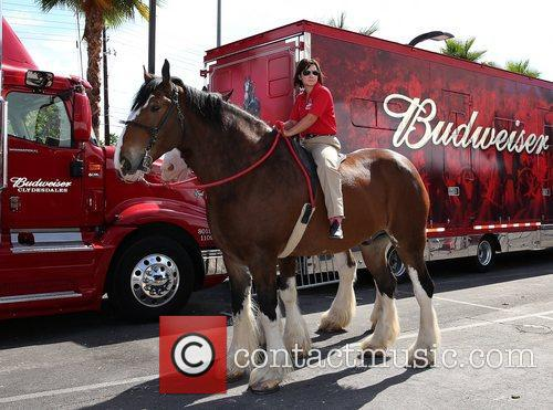 Kat Cockell, Budweiser Clydesdale Curly  Budweiser Clydesdales...