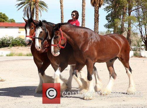 Kat Cockell, Budweiser Clydesdales Tim, Sammy and Sparky 10