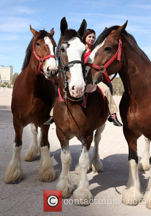 Kat Cockell, Budweiser Clydesdales Tim, Sammy and Sparky 7