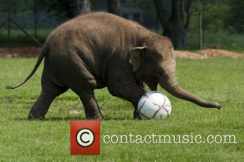 Playful elephants at ZSL Whipsnade Zoo enjoy a...