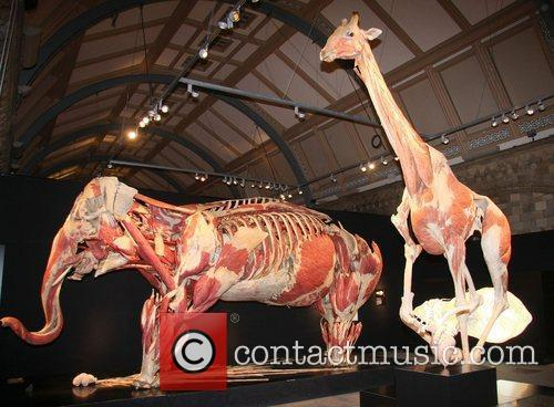 Plastinated Asian elephant and giraffe,  at the...