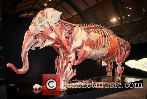 Plastinated Asian elephant ,  at the 'Animal...