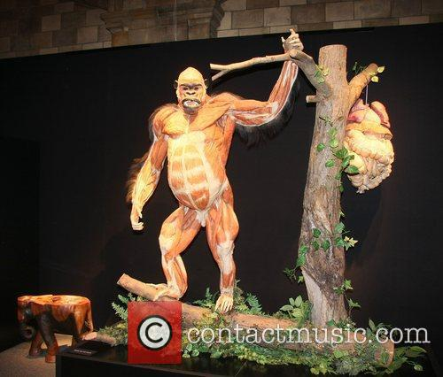 Plastinated gorilla,  at the 'Animal Inside Out'...
