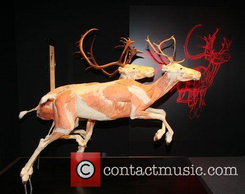 Plastinated reindeer,  at the 'Animal Inside Out'...