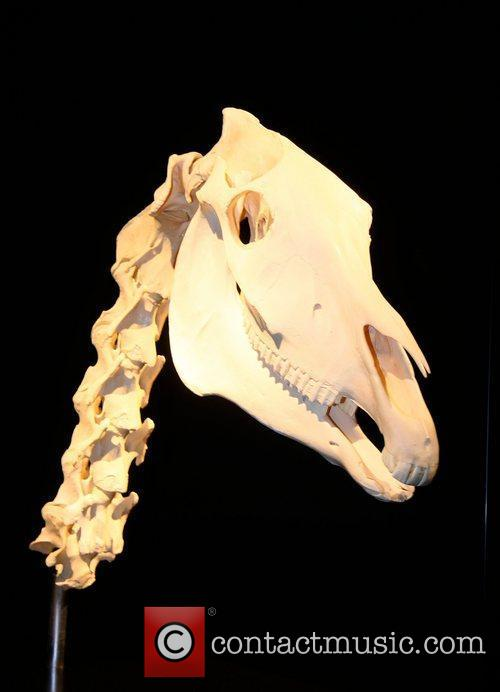 Skull of a horse,  at the 'Animal...