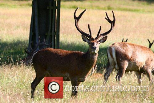 Deer display their velvet antlers as the sun...