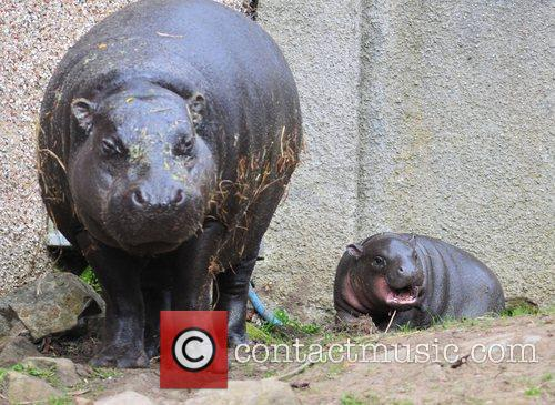 Ellen, the pygmy hippo, is celebrating Mother's Day...