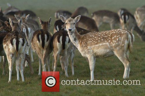Deer gather in Richmond Park as the sun...