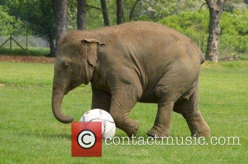 Donna the Elephant enjoys a kick-about at ZSL...